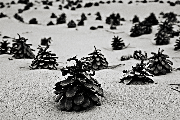 Pine Cone Forest